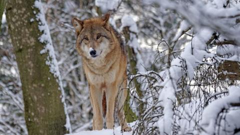 Голодный волк выбежал на заправку на юге Петербурга