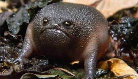 Черная дождевая лягушка - самое недовольное земноводное в мире