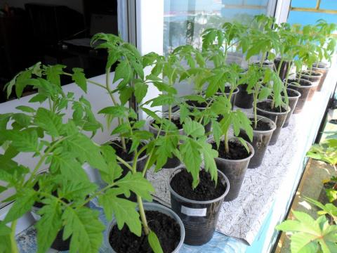 Бальзам для роста помидор