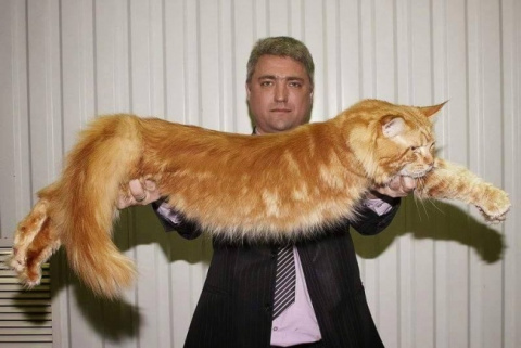 Фото самых больших котов