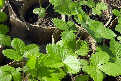 Как правильно выбрать рассаду садовой земляники