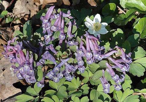 Хохлатка (Corydalis)