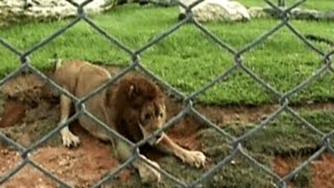 13-летний лев, спасенный из …