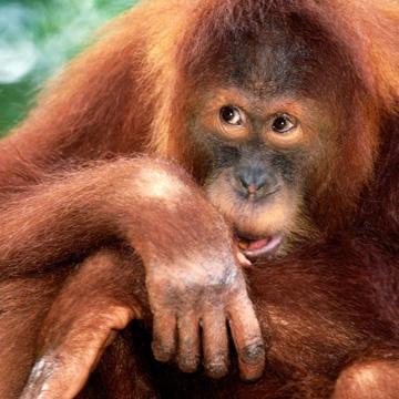 Животные от А до Я. Суматранский и Борнейский орангутаны