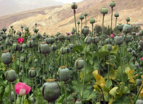 В России появятся плантации с опиумным маком