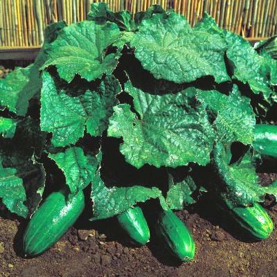 Для того чтобы получить еще более ранний урожай, сорт огурцов кустовой можно выращивать...