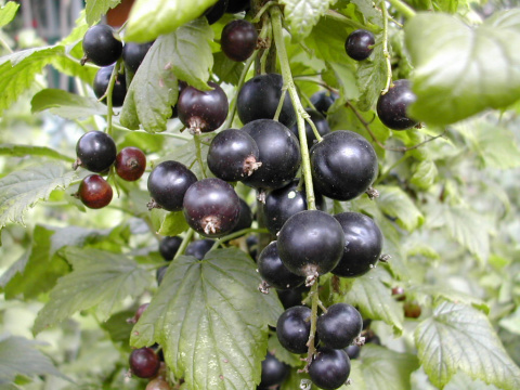Самая вкусная черная смородина: 10 потрясающих сортов