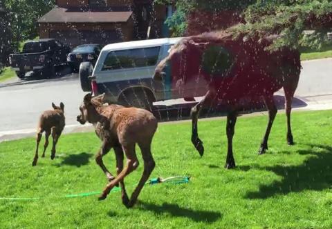 Поступок этой женщины заставил семейство лосей прыгать от радости по лужайке ее дома!