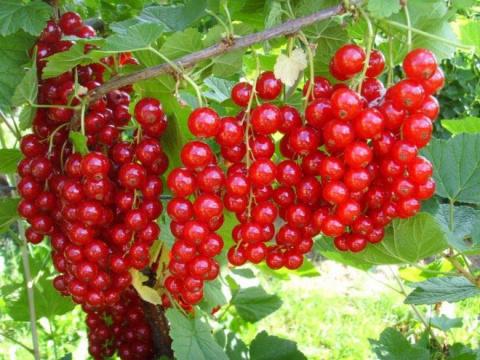 Нужно ли в конце мая поливать плодовые кустарники?