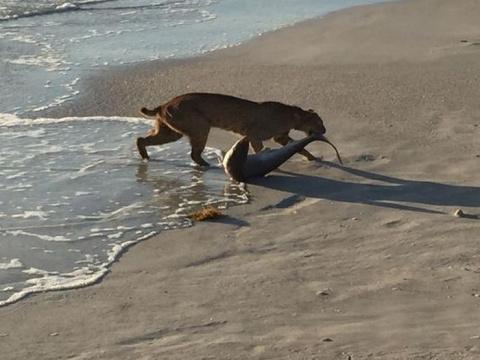 Во Флориде рысь выловила аку…