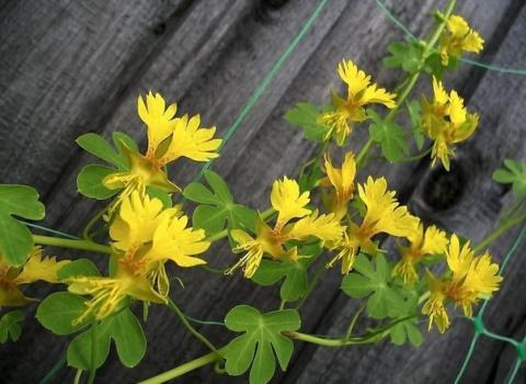 Настурция иноземная: лиана, которая даст фору даже орхидеям!