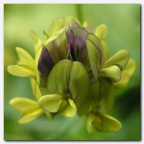 цветок кактуса
