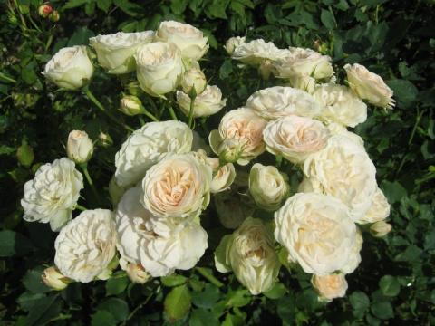 Известны сорта роз выращиваемых тремя цветоводами