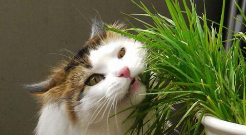 КОШКИН ДОМ.  Трава для кошек