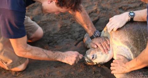 Спасение морской черепахи или очередной пример безответственности людей