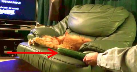Вот что будет, если коту незаметно подсунуть огурец. Реакция животных просто неописуема!