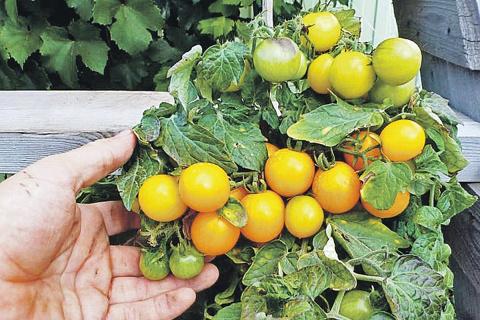Домашние любимцы: томаты, зелень и редис. Секреты огорода на подоконнике