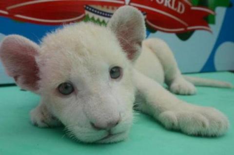 В Бразилии впервые родился белый львенок