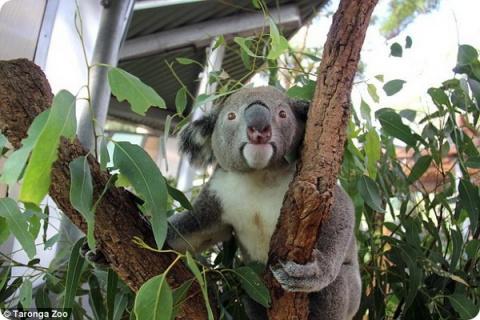 В зоопарке Таронга появился …