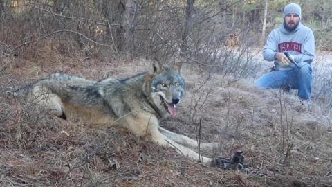 Как охотники спасали волка и…
