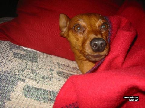 Собаки, которые спят под одеялом
