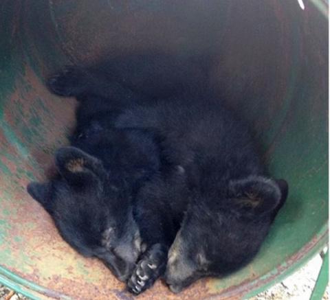 Уволили за отказ убить медвежат