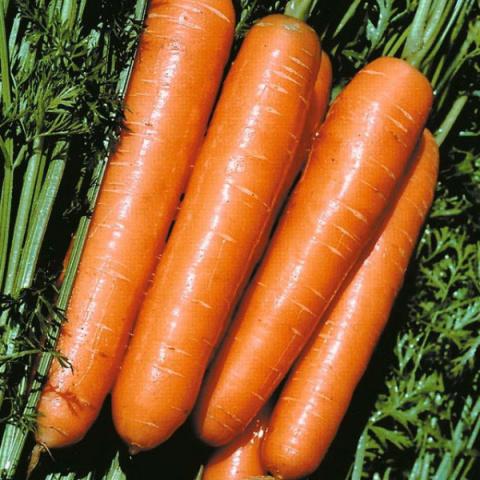 Лучшие сорта моркови для хра…