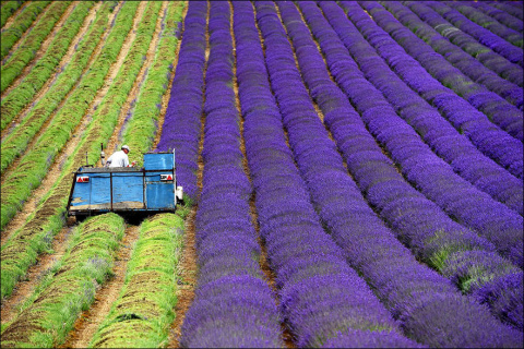 Сбор урожая лаванды