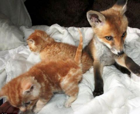 Вместе не так страшно. Как бездомные котята спасли ослепшего лисенка