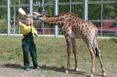 Первый в России искусственно выкормленный жираф
