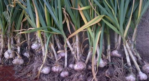 Сроки уборки урожая чеснока