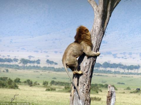 В Кении лев спасался от буйволов на дереве. Это надо видеть!)