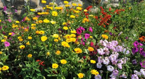 Лекарственные и съедобные растения в цветнике