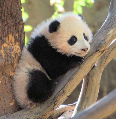 Очаровательные панды (12 фото)