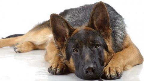 Как верный пёс помог найти у…