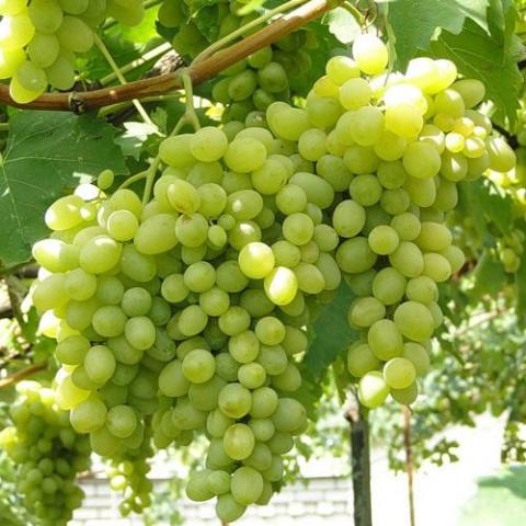 Народная хитрость: чему рад виноград