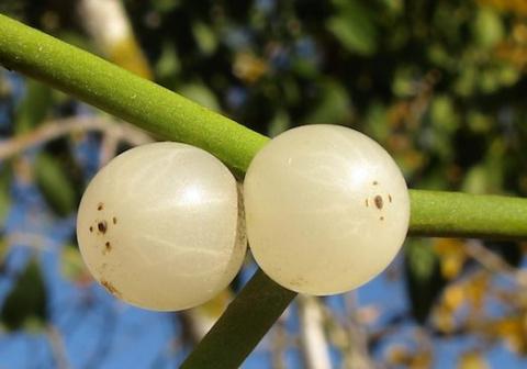 Удивительная и полезная белая омела