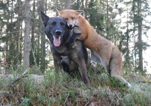 Интересная история о том, как собака подружилась с лисой