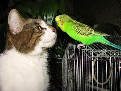 Волнистый попугай говорит с котом (видео)