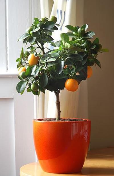 Любимая работа: елка vs деревца апельсина