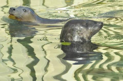 Балтийские тюлени Московского зоопарка