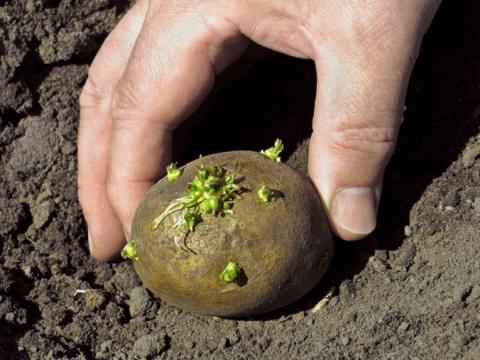 Особенности выращивания картофеля - подготовка и посадка клубней