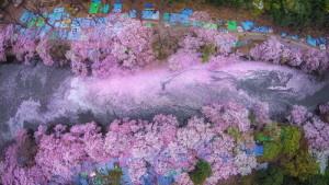 Цветочные реки, вишнёвые берега