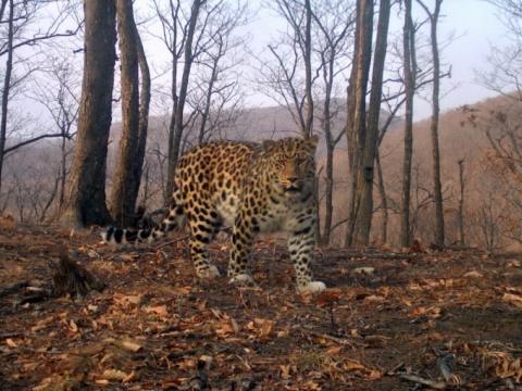 Приморский леопард Лорд встречается сразу стремя самками