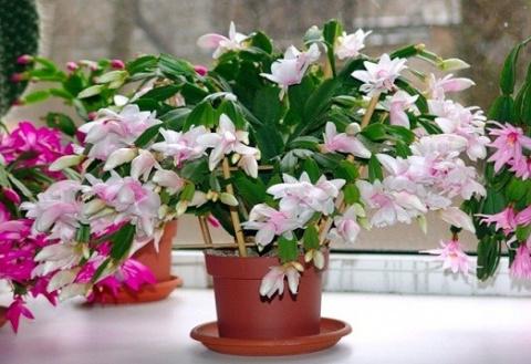 Как вырастить цветок декабрист?