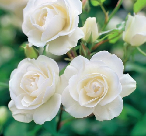 Снежная королева, или Самые красивые сорта белых роз
