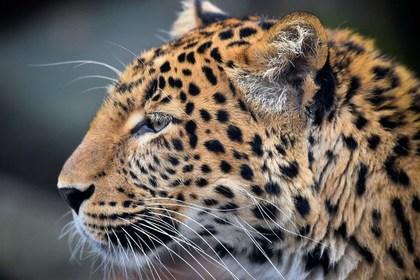 Специалисты вызволили леопарда из подвала жилого дома в Москве