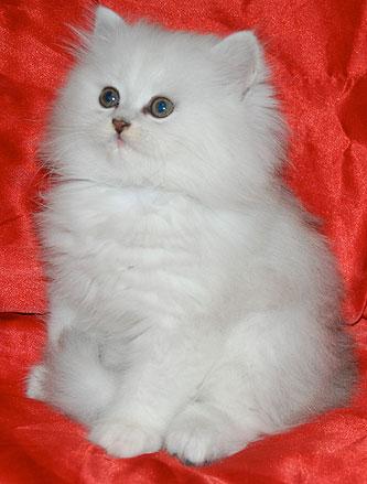 Почему котята британские кусаются 32
