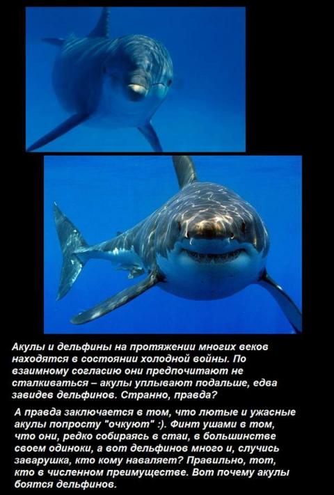 Дельфины и акулы(5 фото)