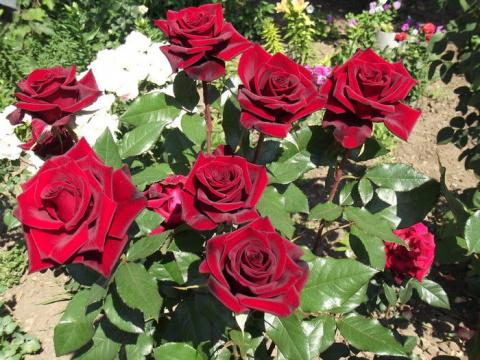 Уход за розами весной